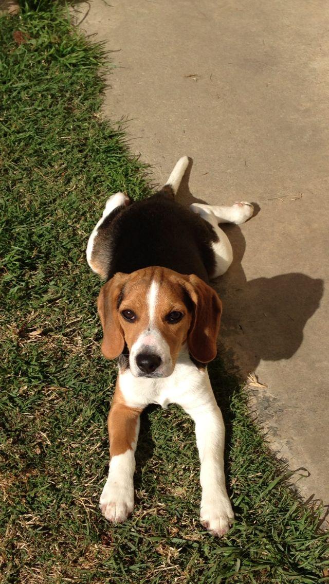My Howling Beagles Cute Beagles Beagle Dog Beagle Puppy