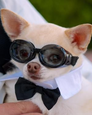 Doggles They Just Work Chihuahua Lover Chihuahua Love Baby Dogs
