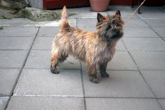 Hitos Fairy Tale A Gorgeous Red Brindle Cairn Terrier Puppies Cairn Terrier Puppy Time