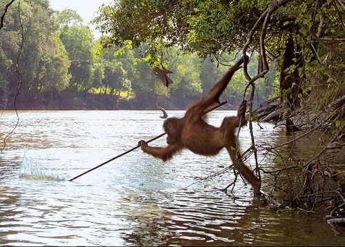 foodforbiggerfish:    Primatology Lesson of the Day #15:  Orangutan innovation at its best! This male orangutan has seen local humans using spears to fish and decided to try it himself. Although it took too much skill for him to master, he was able to use the spear to catch fish that were already caught in the fishermen's nets.