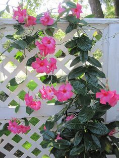 Mandevilla growing up the trellis on our deck.