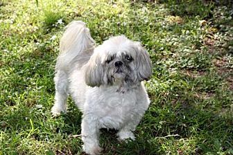 Hagerstown Md Shih Tzu Meet Mr Bo Man A Dog For Adoption