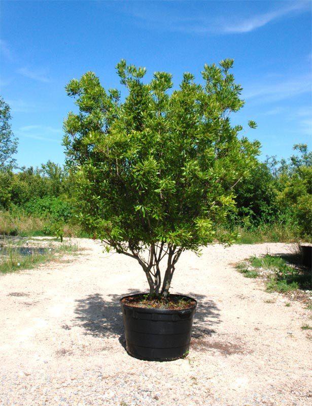 wax myrtle tree - leaves