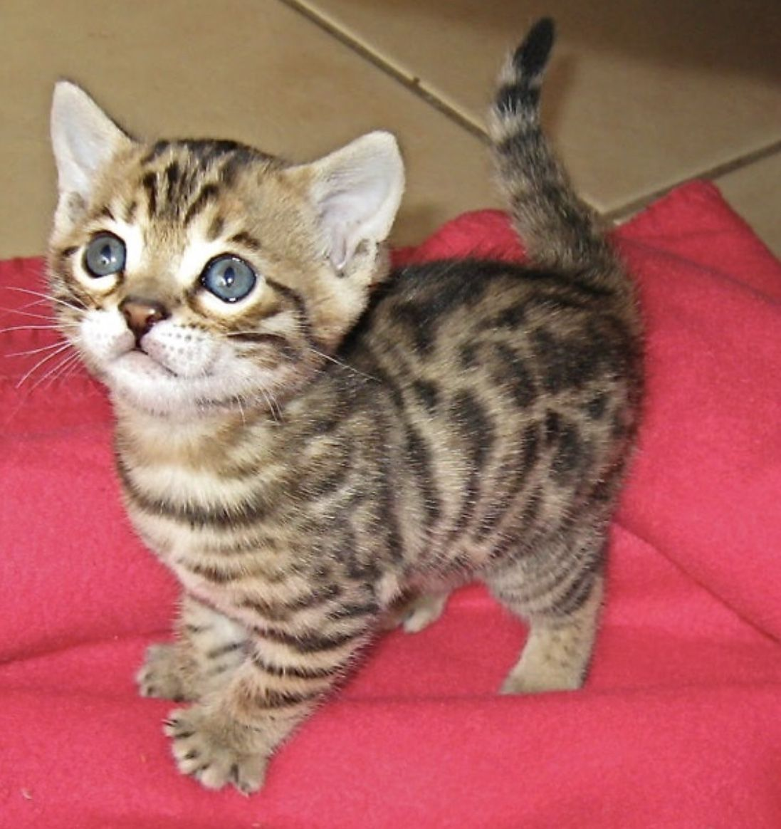 Pin By Kayla Sultry On Pets Bengal Kitten Kittens Cutest Bengal Cat