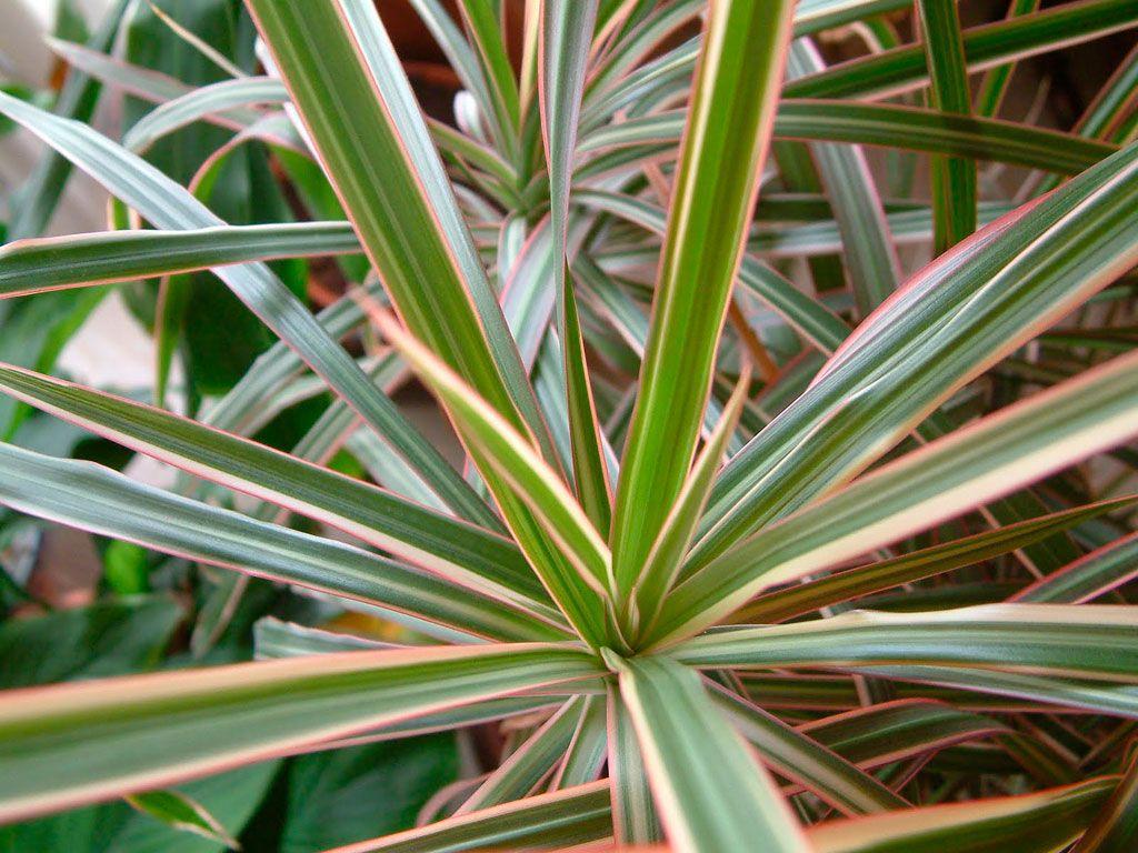 25 melhores ideias de plantas ornamentais no pinterest jardim vertical varanda verde e varanda - Planta de interior resistente ...
