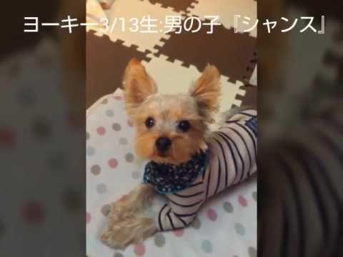 きょうのわんこ~ヨーキー『シャンス』17a19