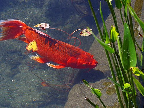 Small Outdoor Garden Ponds Hubpages In 2020 Goldfish Pond Pond Plants Floating Plants