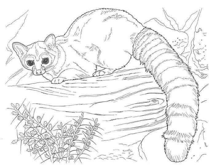 Wildlife Raccoon Coloring Pages Animal Coloring Books Animal Coloring Pages Cat Coloring Page