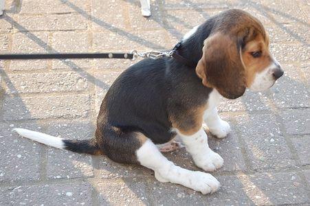 Grooming A Rabbit S Ear Beagle Baby Beagle Black Labrador