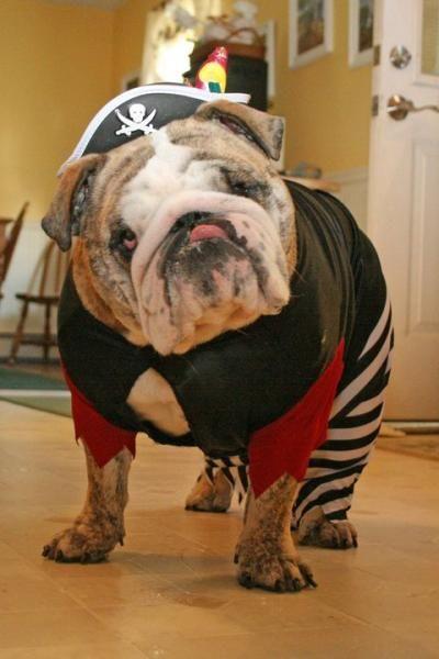 Ozzy The Pirate Bulldog Bulldog Funny English Bulldog