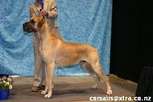 Yacanto Gd In New Zealand Great Dane Animals Dane