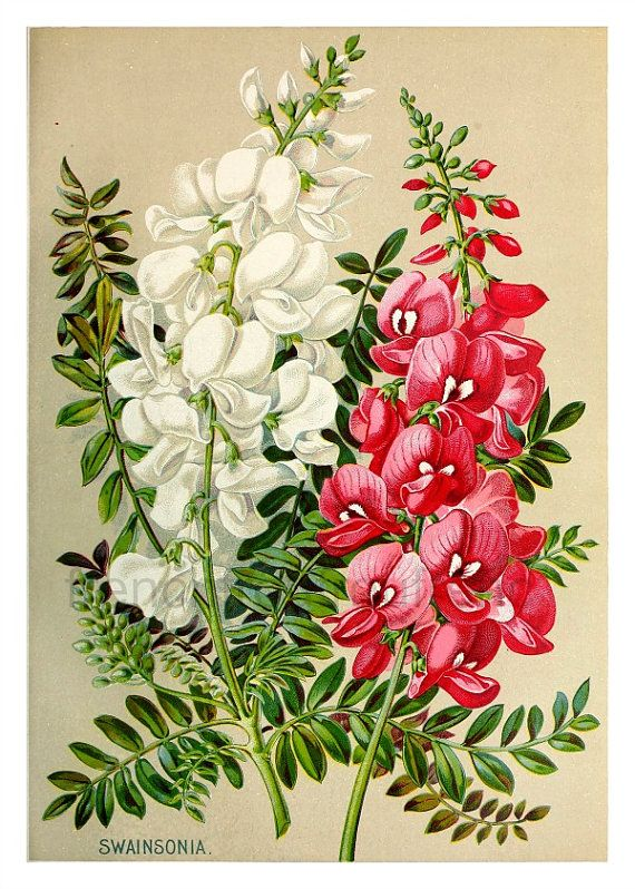 Antique Victorian Botanical Illustration White FrenchFrouFrou