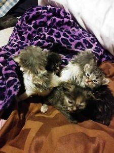 Rare Ragdoll Lynx Cross Cats Kittens For Sale Markham York Region Kijiji Kitten For Sale Kittens Cats And Kittens