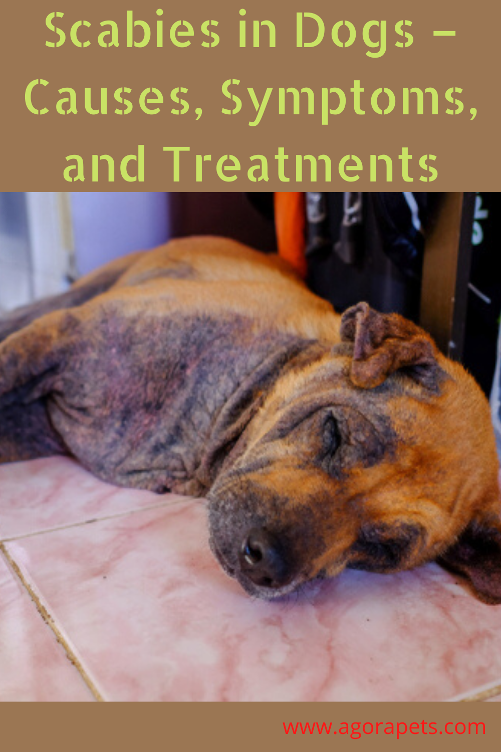 Scabies in Dogs Causes, Symptoms, and Treatments in 2020