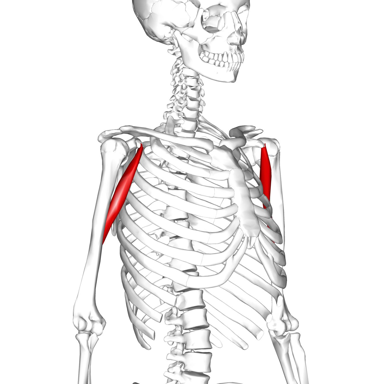 Coracobrachialis Coracoid Process Of Scapula Origin Medial Third Border Of Humerus Insertion
