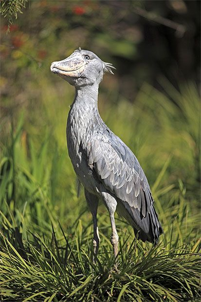 Shoebill This large African bird resembles a heron with a size-ten clog stuck to its face. The shoebill's mighty beak is 10cm wide and 23cm long. Great Bangweulu Basin in Zambia