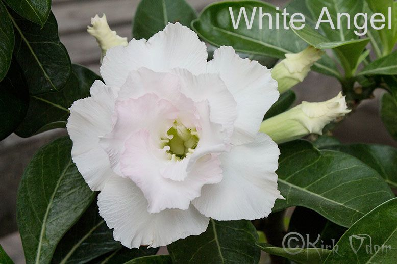 White angel adenium x mas time pinterest white angel mightylinksfo