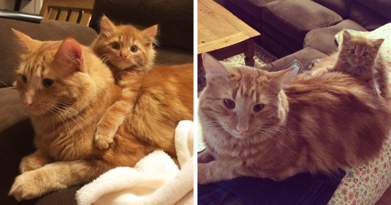 Cat Finds His Mini-Me Decides To Adopt Him And Raise As His Own | Bored Panda #kittens #ginger #kittens #gingerkitten