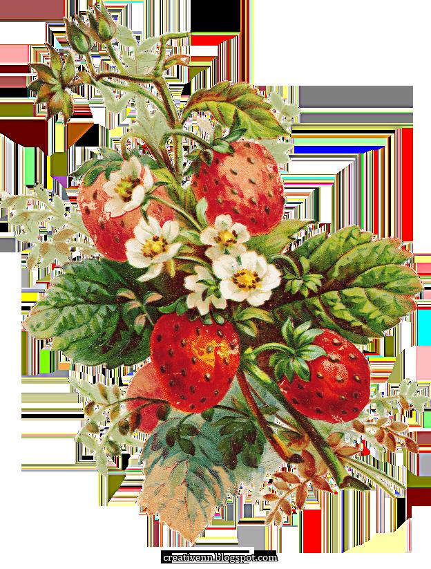 Картинки старинные ягоды. Клипарты ягоды.   Цветы, Ягоды ...