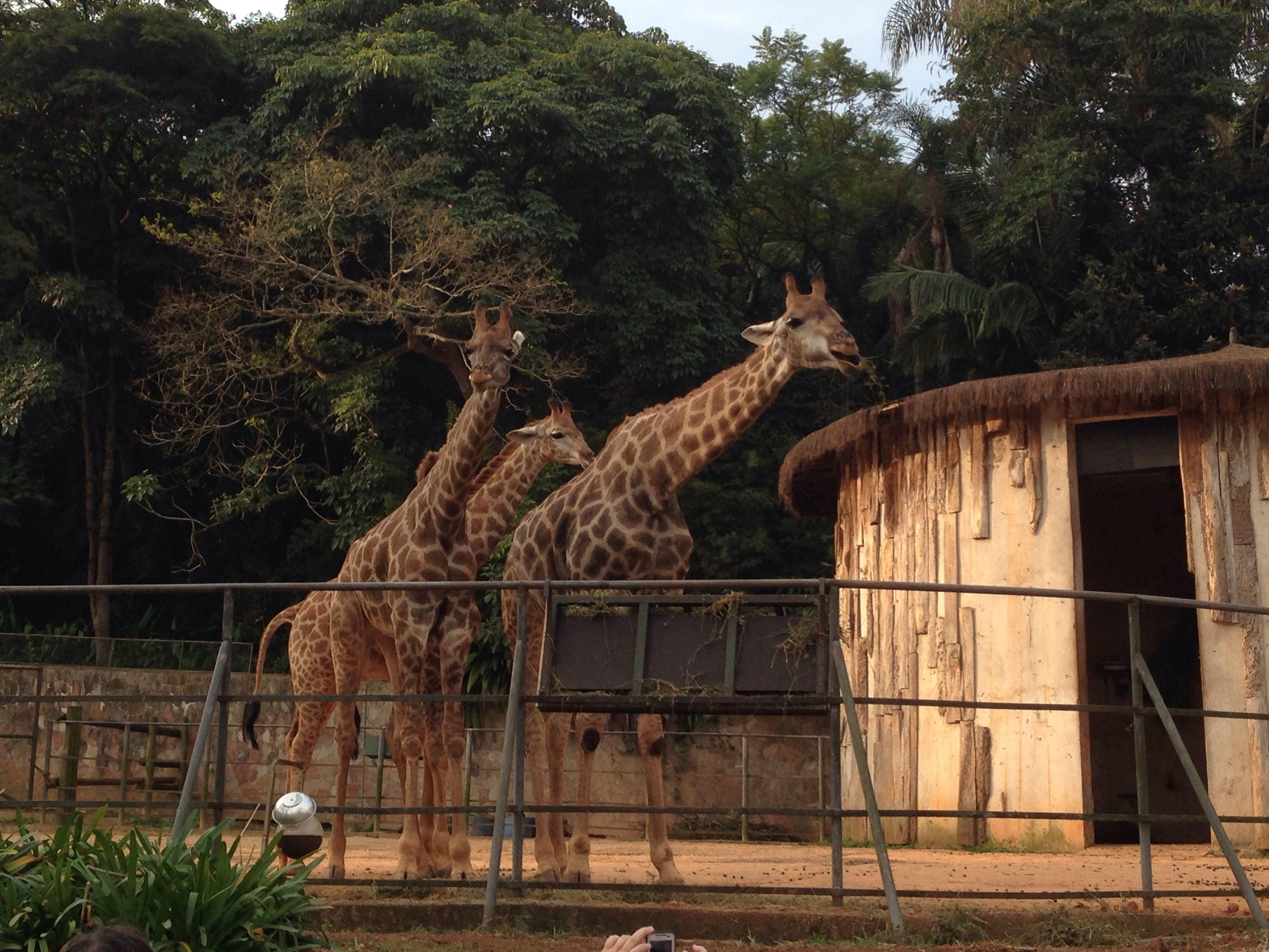 Zoo de São Paulo.  Girafas