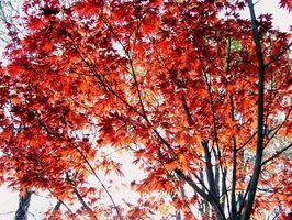 Japanese maple trees have red leaves all year long.