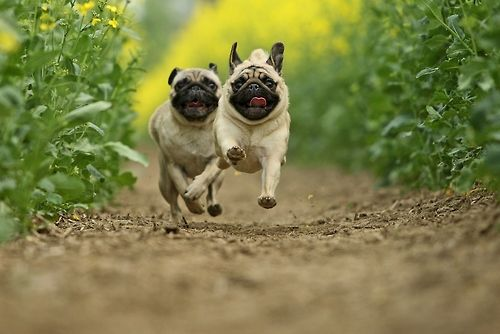 mostlydogsmostly:  (via Kathrin K. und Kötis)  That first pug is going to win because he WANTS it!
