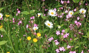 Red campion, oxeye daisies and buttercups