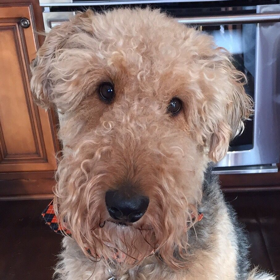 My Sweet Boy Winchester Airedale With Images Scruffy Dogs