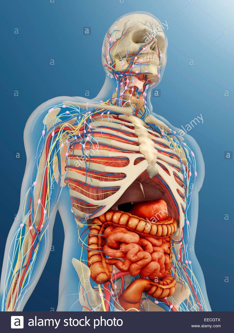 Pictures Of The Internal Organs Of The Human Body Human Body