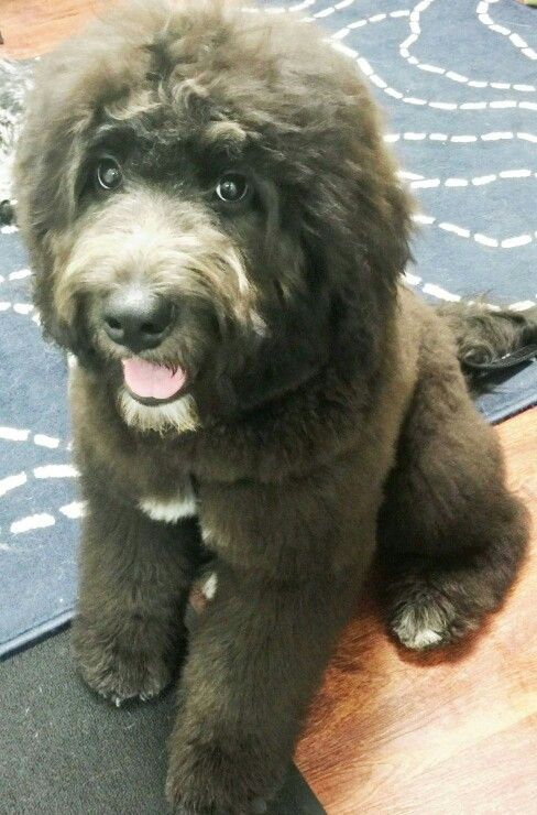Wolf Creek Newfoundlands Northern California Dry Mouth Newfoundland Breeders Where I Want To Look At For A Newfoundland Newfoundland Puppies Pound Puppies
