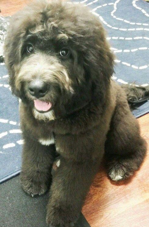 Newfypoo Puppy Hypoalergenic Newfoundland Poodle