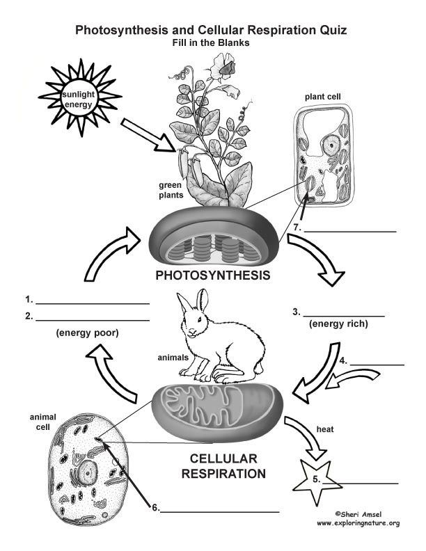 Photosynthesis Vs Cellular Respiration Diagram Unlabeled