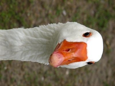 Geese! Learn About Geese and Enjoy Colorful Pictures - Look and Learn! (50+ Photos of Geese)