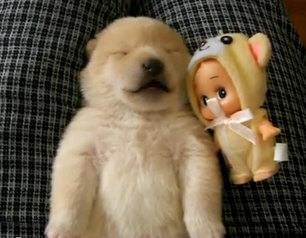 Shibu Inu puppy dreams and makes the cutest sounds