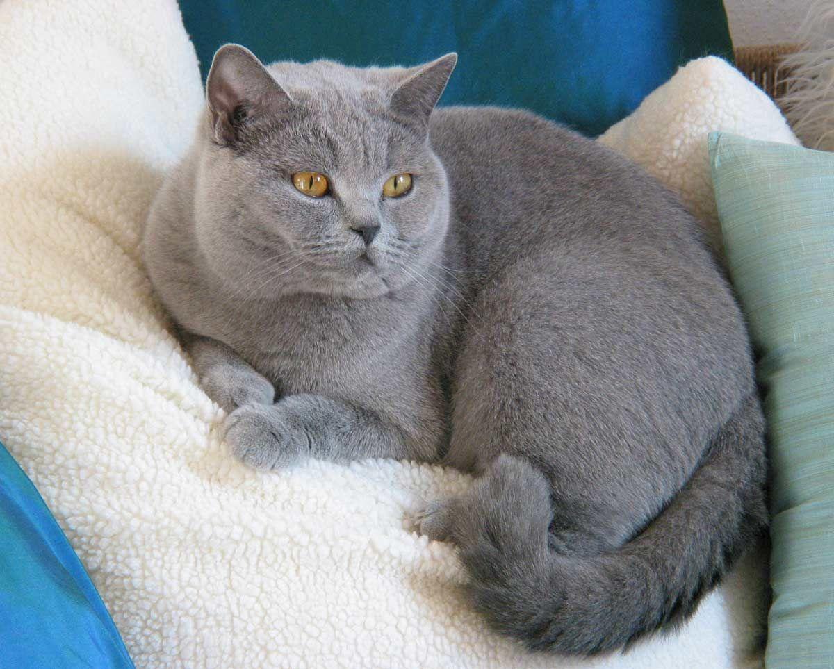 Britisch Kurzhaar Katzen Kurzhaar Katzen Britisch Kurzhaar Katzen