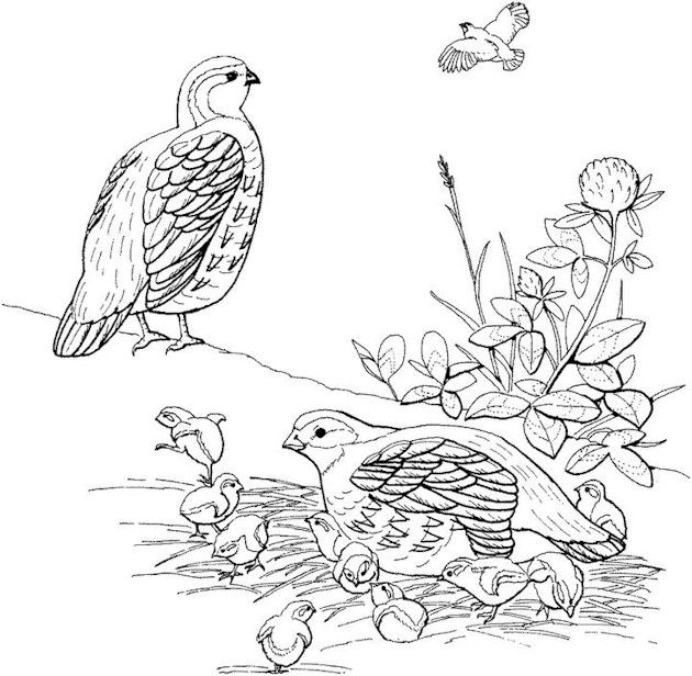 Bird Coloring Page Lovely Lineart Pinterest Printable coupons - new free coloring pages quail