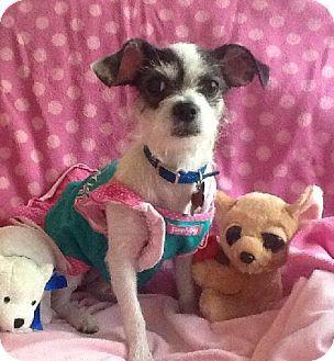 Providence Ri Chihuahua Poodle Miniature Mix Meet Lacy In Ri A Dog For Adoption Http Www Adoptapet Com Pet 10848950 Kitten Adoption Pets Dog Adoption