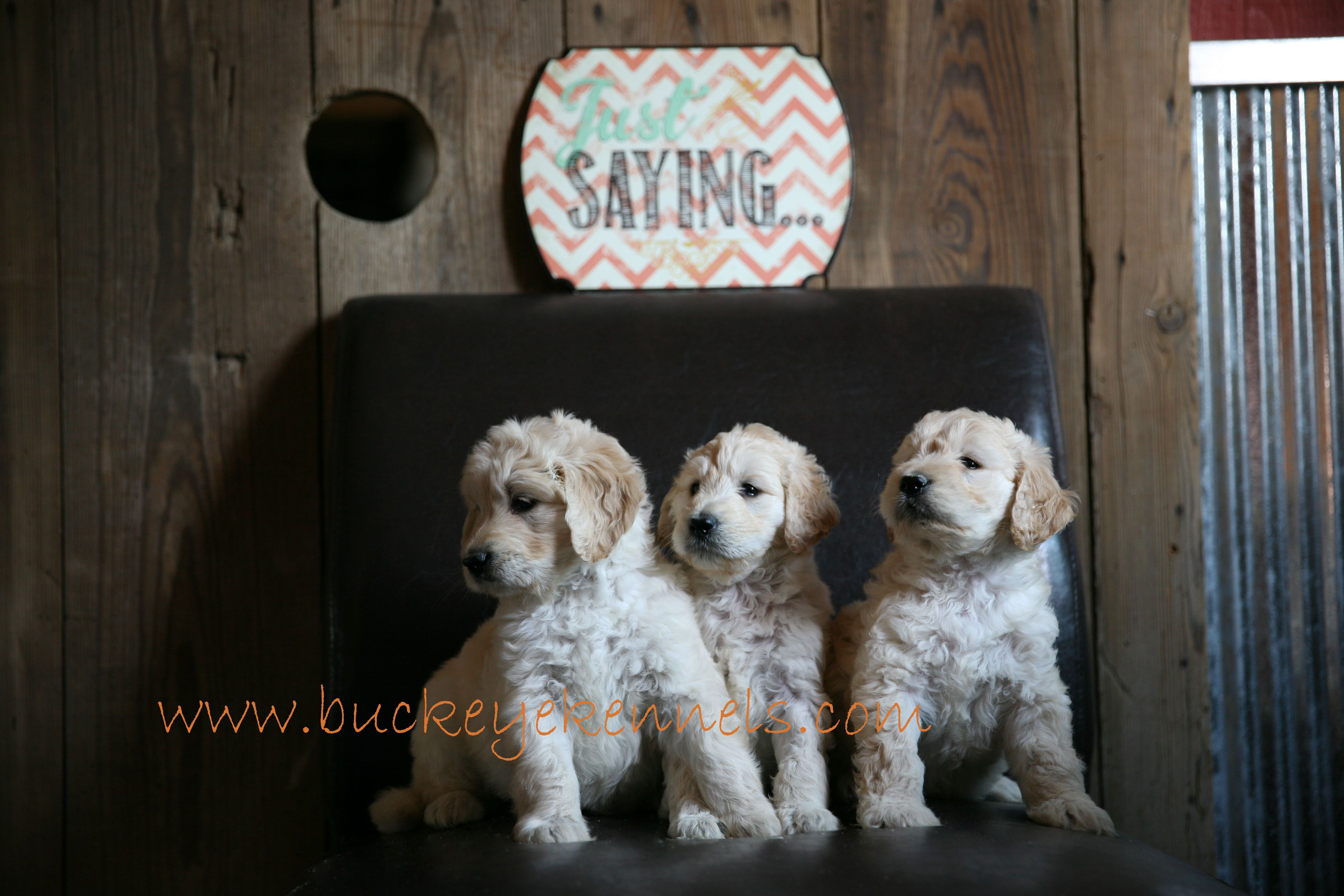 F1b And F1 Goldendoodles In Ohio Check