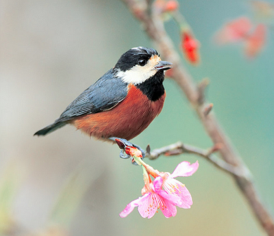 The Invariably Cute Varied Tit : The Featured Creature