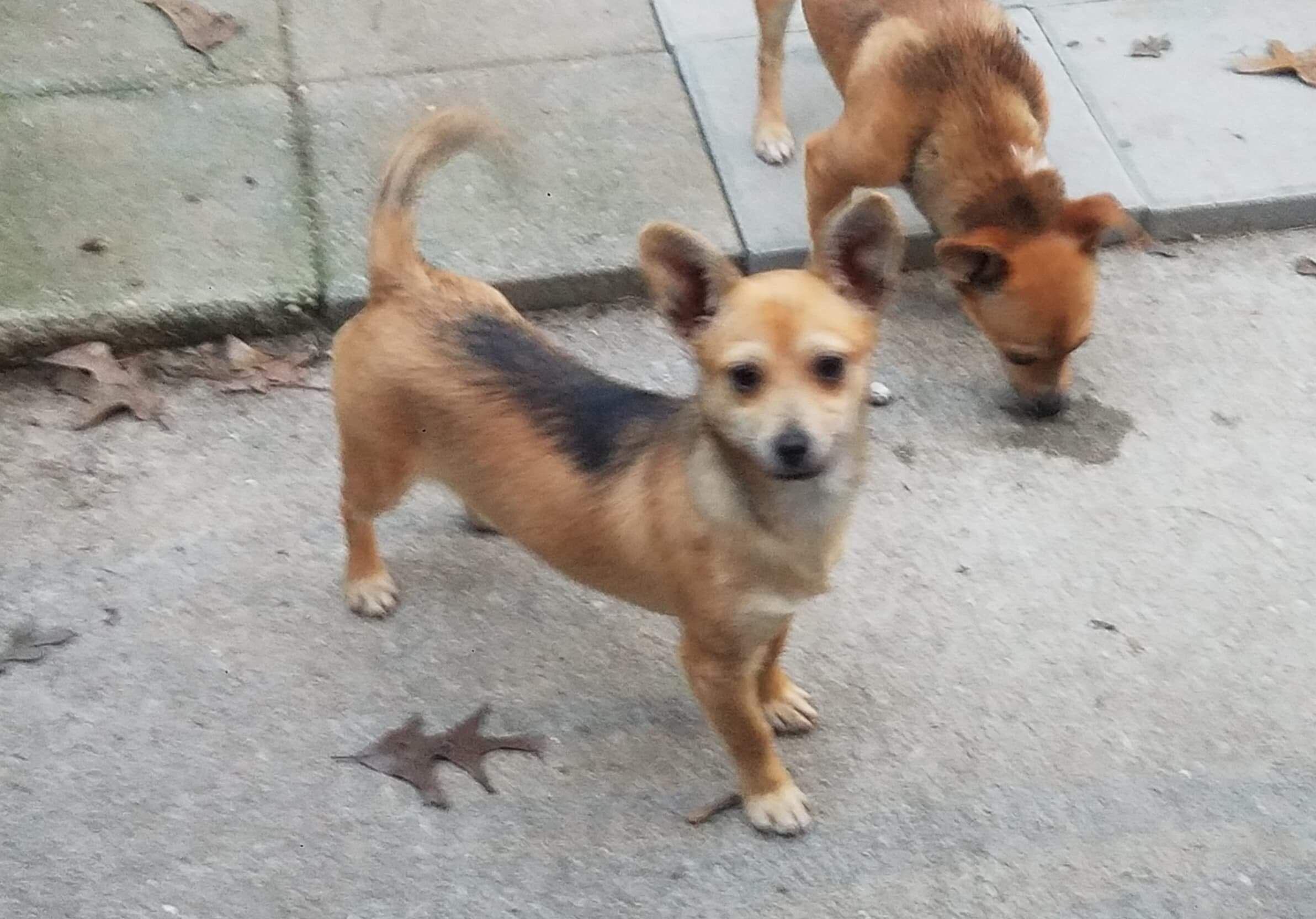 Adopt Seranna H Wilson on Chihuahua mix, Pet care, Pet