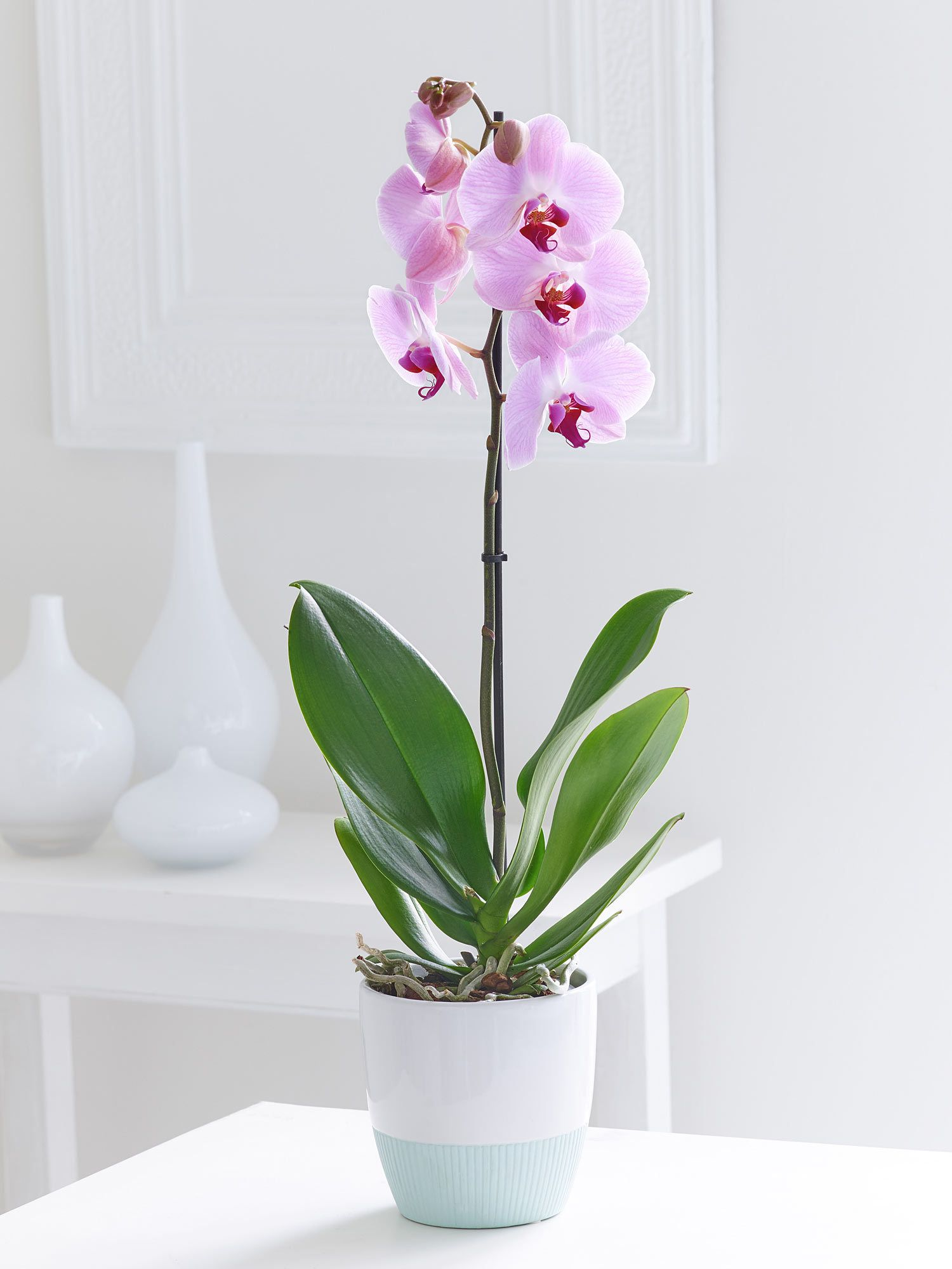 phalaenopsis orchid non toxic to cats orqu dea phalaenopsis orchid orchids y toxic plants. Black Bedroom Furniture Sets. Home Design Ideas
