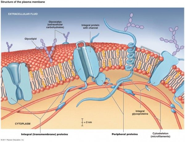 Cell Membrane Diagram Transportation In And Out Of A Cell Is