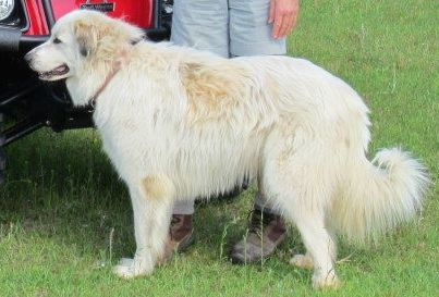 Lost Dog Great Pyrenees Grand Ridge Fl United States