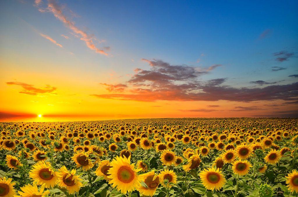 Pin On Baby Pahl Beautiful sunflower field hd wallpaper