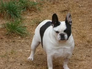 Fionia Is An Adoptable French Bulldog Dog In Roy Wa Fionia Is 3