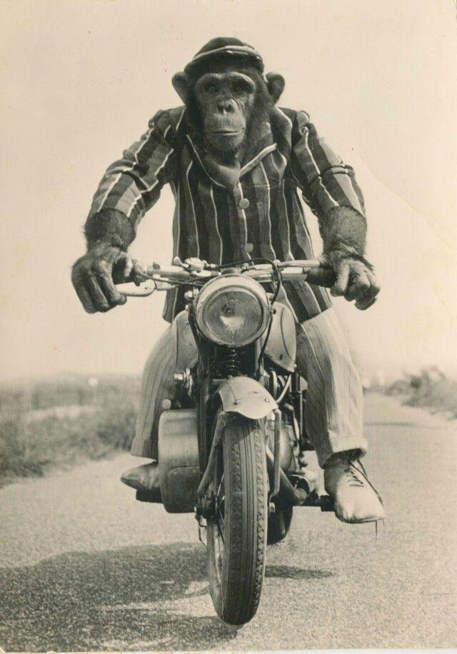 Monkey On A Motorbike Monkey Art Monkeys Funny Motorcycle Art