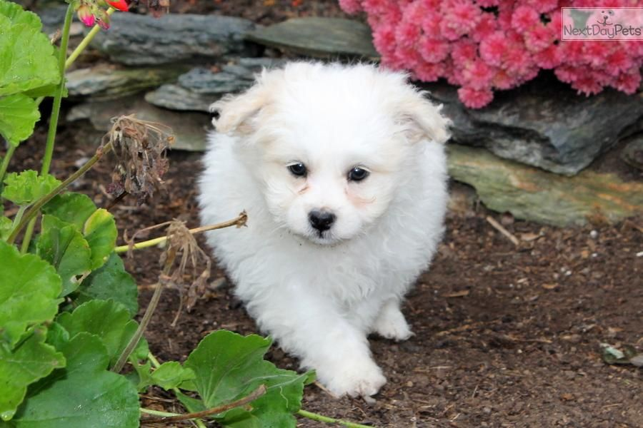Meet Male A Cute Poma Poo Pomapoo Puppy For Sale For 295 Karl