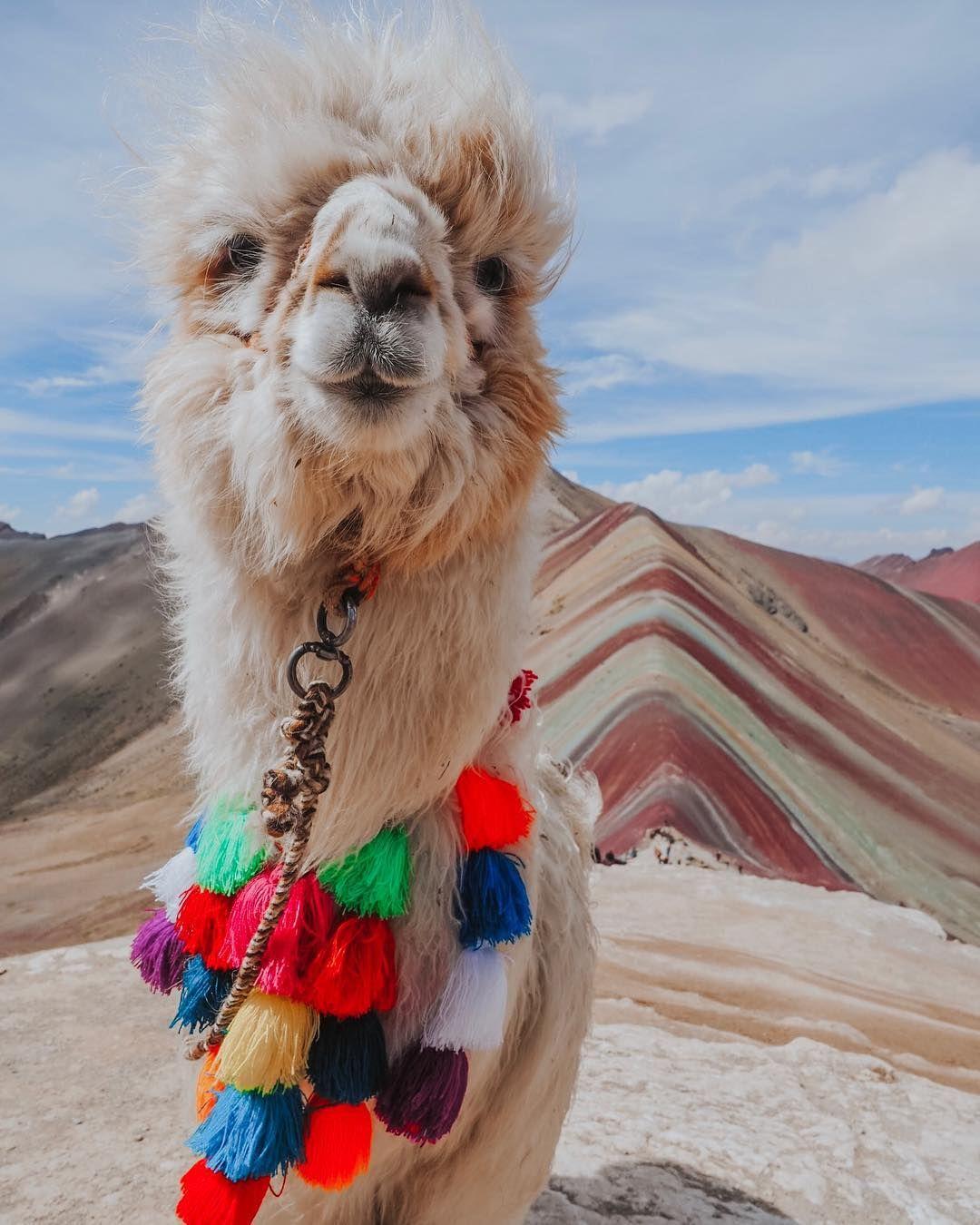Llama Baby Hilarious Cute Vibe Adorable Sweet Animals