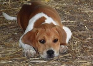The Beagle Is A Breed Of Small Hound Originally Reproduced As
