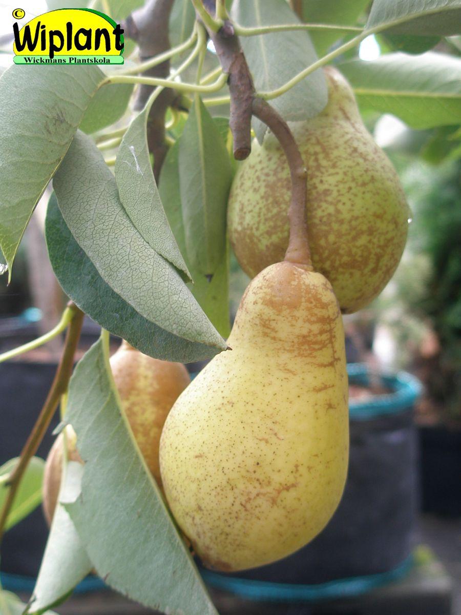 Pyrus communis 'Moskovskaja'. Rysk sort. Fruktköttet är mjukt, saftigt, aromatiskt och sött med en angenäm päronsmak. Självfertil.